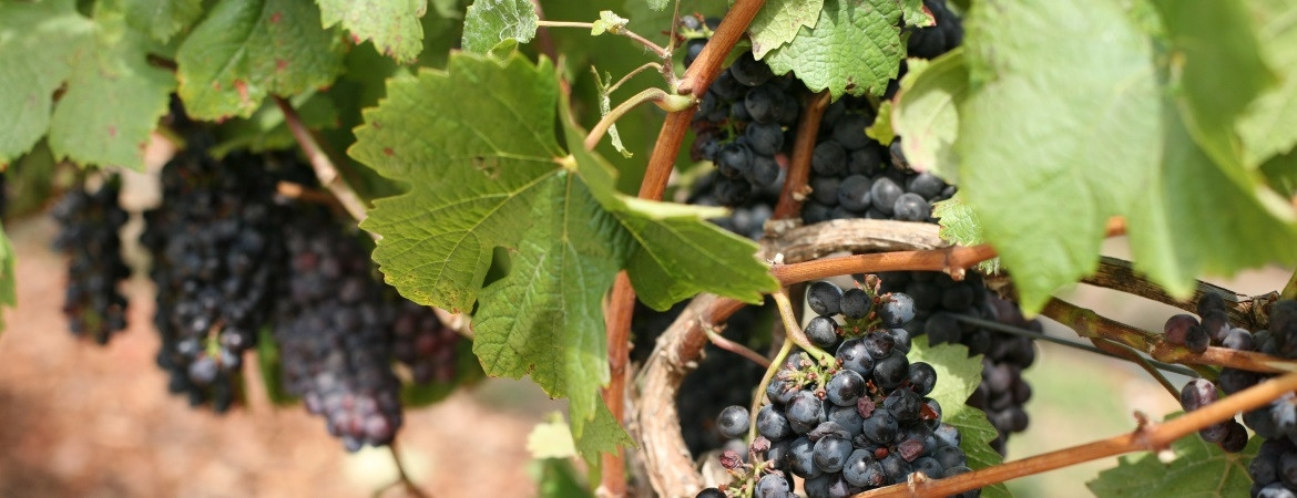 21_grapes-34-1170-450-100 AgVisory Valuation and Consulting for your AgriBusiness - AgVisory